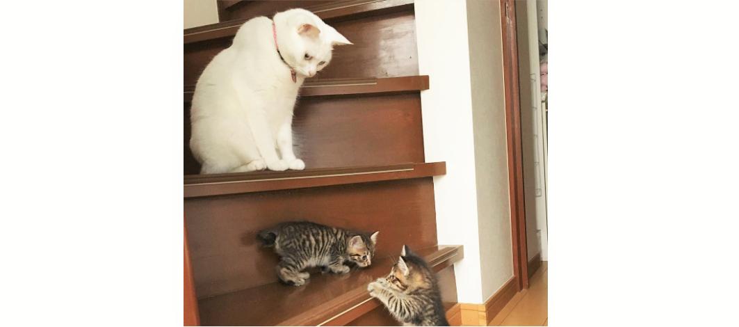 保護ネコの巣立ちの時まで、お世話をしている白猫。その惜しみない愛情に、胸打たれる(15枚)