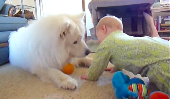 赤ちゃんと初めて触れ合うサモエド犬が、自分の遊びよりも優先した事とは…(*´艸`*)♡