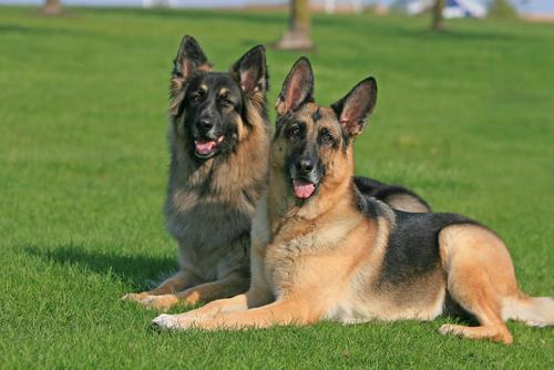 警察犬の代名詞! ジャーマン・シェパード・ドッグの性格や特徴