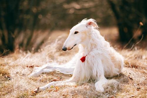 一度絶滅しかかった、悲劇の歴史持つ東欧の大型犬『ボルゾイ』