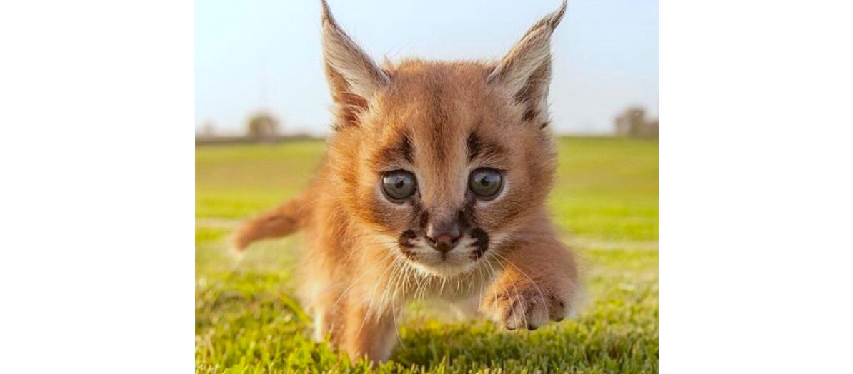 「我こそエジプトの守り神にゃ♡」この可愛い子猫の大人になった姿が、神々しすぎる…(゜o゜)