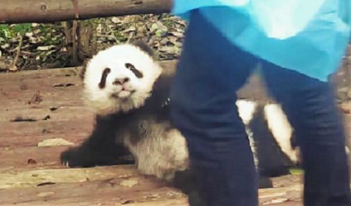 """【僕も抱っこしてー!】飼育員さんに抱っこされたい子パンダが見せた """"ある仕草"""" が可愛すぎた♡"""