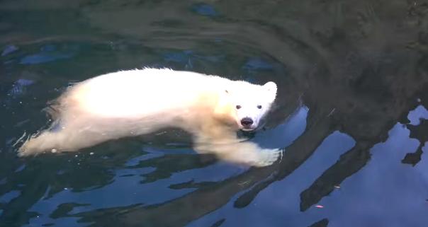 """大きなプールがある部屋に """"お引っ越し"""" した白クマ。新しいお部屋に大満足なご様子(*´ω`*)♪"""