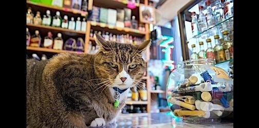 """ワイン店で保護され里親を募集していた子猫。でも気がつくと、お店の""""渋カッコイイ""""看板猫に…♡"""