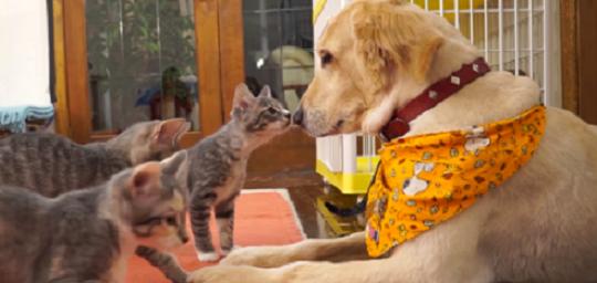 『おまえ誰だニャ…』 初めてワンコを見た子猫さんたち。ちょっとずつふれあいを深めてく♡