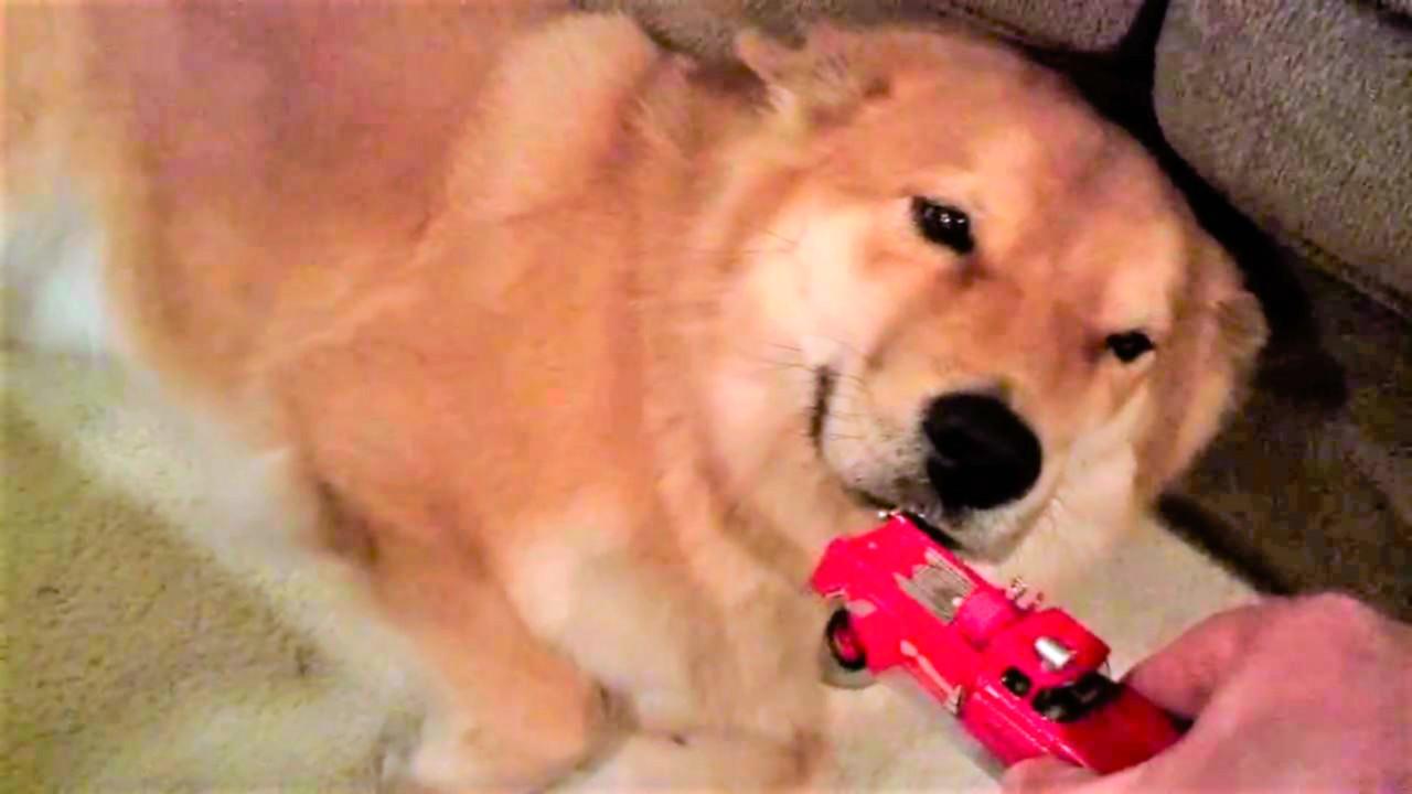 イタズラを叱られるも、知らんぷりを貫き通す愛犬!清々しい位の『知りませ~ん』な表情に、笑う…♪