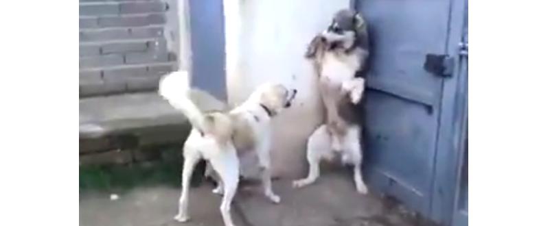 子犬を驚かせたら、ママ犬に激しく叱られちゃった! → パパ犬の反応が、へっぴり腰すぎた…(笑)