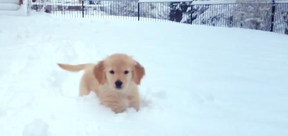 【雪が深すぎてドボン…】雪に全身を突っこみながらも、駆け回る子犬が無邪気すぎる(*´﹃`*)