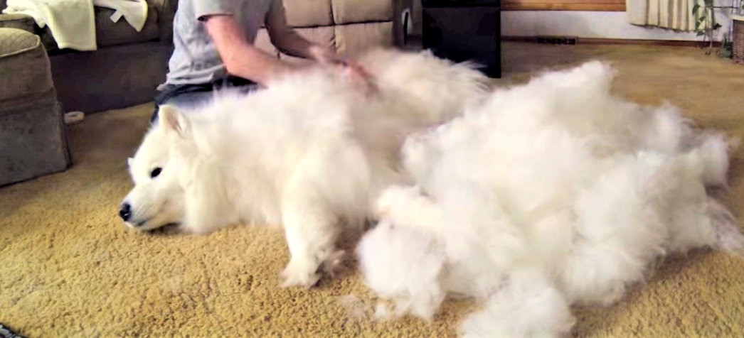 【衝撃の毛量!】もふもふなサモエド犬のブラッシング動画が、凄まじかった…( ゚д゚)!