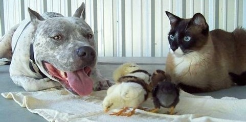 【みんなで子育て♡】生まれてきたヒヨコを可愛がる犬猫の姿に、胸がほっこりする…(*´艸`*)
