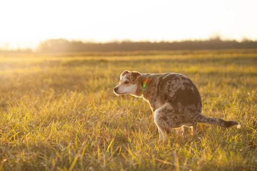 【犬の謎】愛犬がうんちをする時、こっちを見つめてくるのは何故?⇒ちょっと嬉しくなる理由でした♪