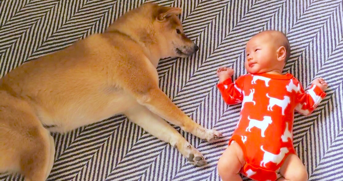 【優しい♡】赤ちゃんのパンチが鼻に当たっちゃった → 柴犬のとった行動に、ホッコリする12秒♡
