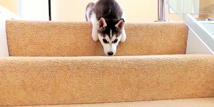 \大人の階段が高すぎる/ オヤツは欲しいけど、二段目から先に進めない、子ハスの姿にキュン♡