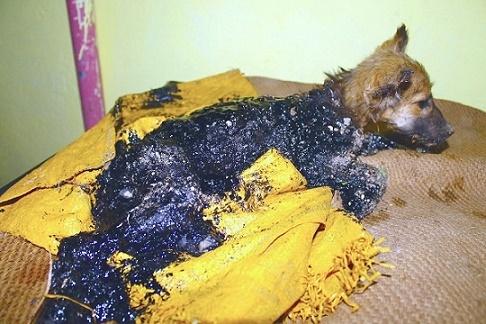 タールに落ち、足も動かせなくなってしまった子犬。懸命な救護によって、見違える姿に!