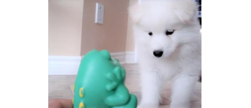 カエルおもちゃをやっつけようと、立ち向かう子犬!懸命にアタックする姿が、勇敢カワイイ…( *´艸`)