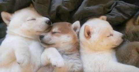 生後5週の子柴に、なかよくお昼寝してもらったら… まさに子犬の保育園だったー(〃∇〃)♡