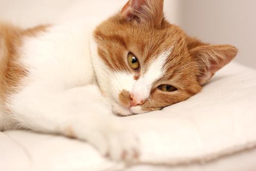 猫の回虫症|下痢や嘔吐などの症状・原因・治療法まで|病気