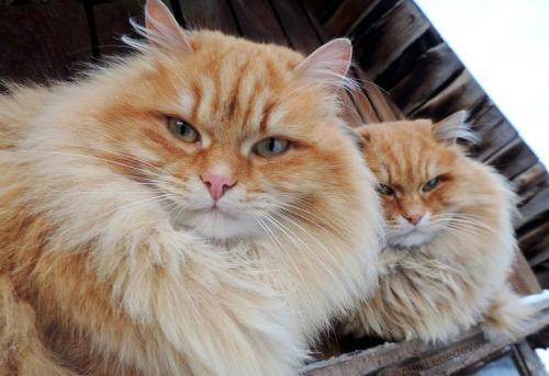シベリア在住の猫さん、モフモフを極めた姿だけど、なんだかワイルドな雰囲気を持っていた…