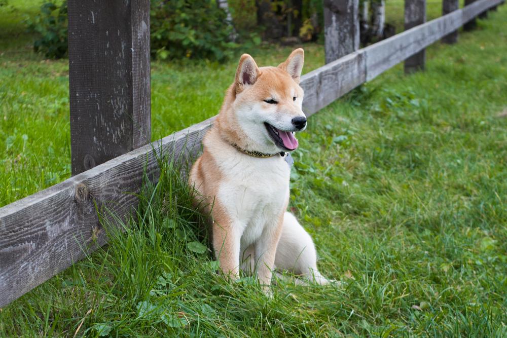 柴犬をケージで飼おう☆ ~メリットと選ぶポイント~