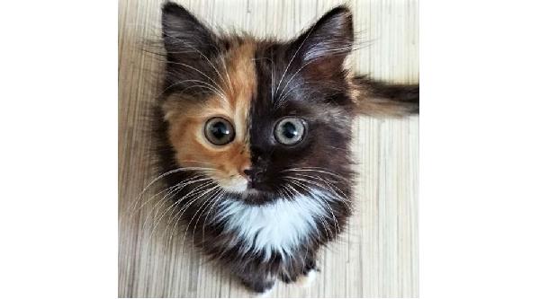 一度見たら忘れられない、綺麗な二色模様をした子猫 → 凛々しく成長した姿が…♡(7枚)