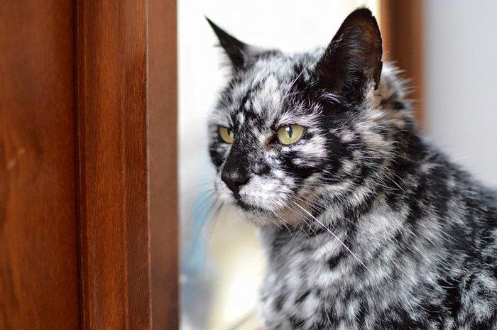 【昔は黒猫だった!?】少しずつ模様が変化した1匹のネコ。歳を重ねた姿が、神秘的だと話題に…(8枚)