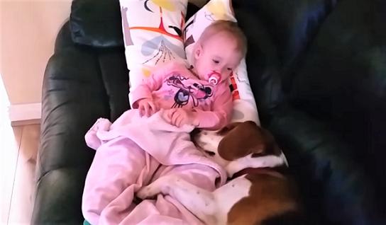 ビーグル犬と、その妹である赤ちゃん。お互いへの愛が伝わってくる動画に『家族の温かさ』を感じる
