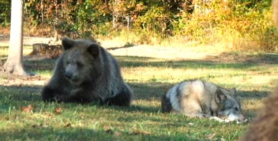 たくましいクマとオオカミ…。実はこの2匹、とっても可愛かった子供時代からの友達なんです(*´艸`*)