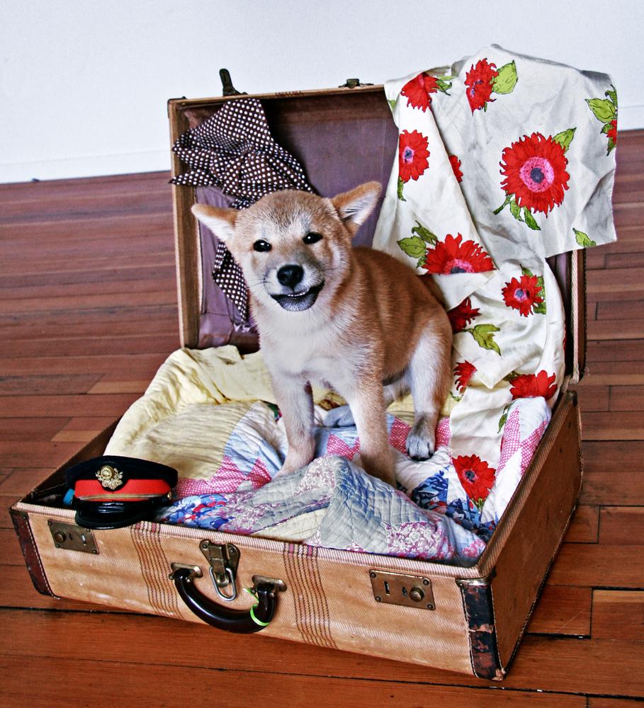 柴犬が可哀想? きちんとした方法ならケージ飼いも大丈夫!