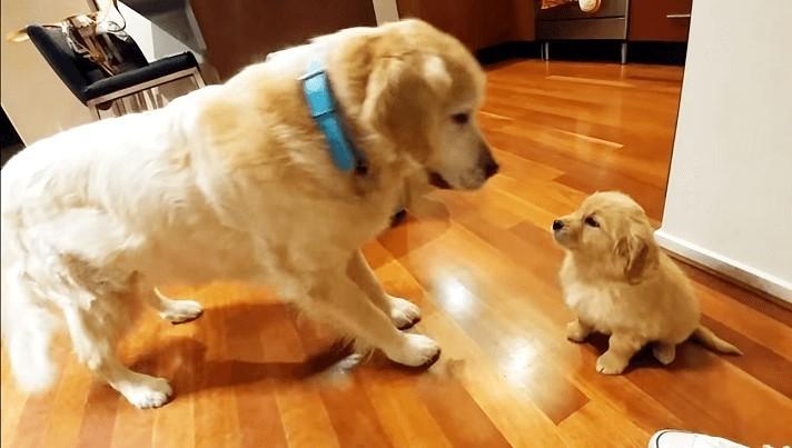 """【今日からお兄ちゃん!】やってきた子犬を大歓迎するゴールデンの  """"おもてなし"""" が可愛すぎた…♡"""