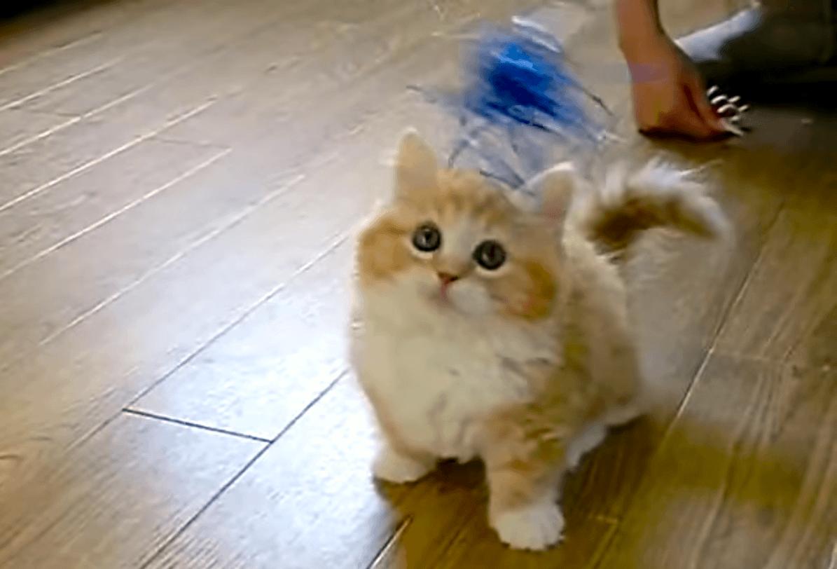 目を輝かせながら、オモチャを一生懸命追いかける子猫。その動きがたまらなく可愛かった…(*´﹃`*)