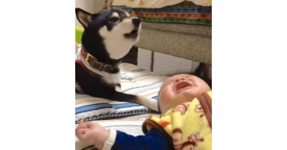 赤ちゃんが泣いていたら、優しい子守唄を聞かせてあげる黒柴さんが、最高のベビーシッターだった♡