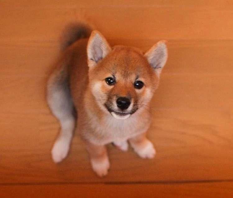 【そんな目で見つめないでッ♡】魅力満点な子柴犬こむぎちゃん、うるうる瞳にキュン…(*´Д`) 10枚