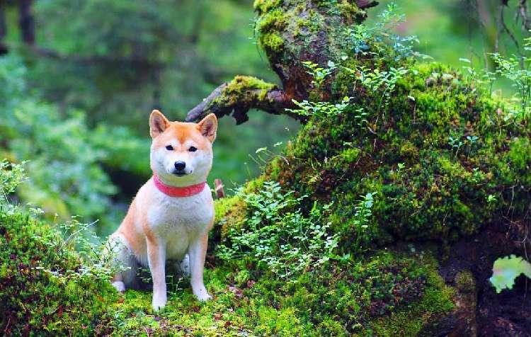 雄大なノルウェーの風景に柴犬が…。世界中が魅了された美しすぎる柴犬写真10選