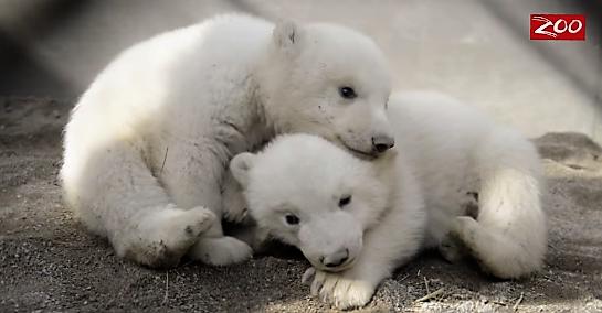 アメリカの動物園で生まれた2頭の双子のシロクマが天使すぎると話題に…(*´Д`)