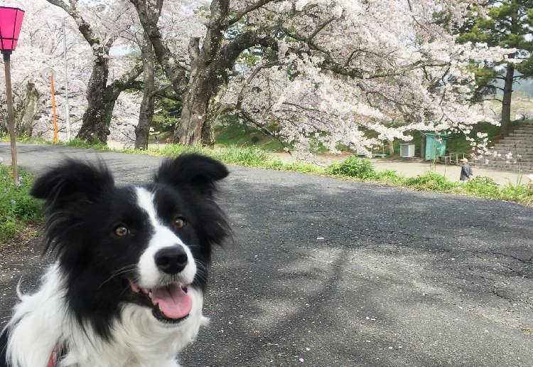 春だ! 桜だ! 愛犬と一緒に楽しめる、関東のお花見スポット特集