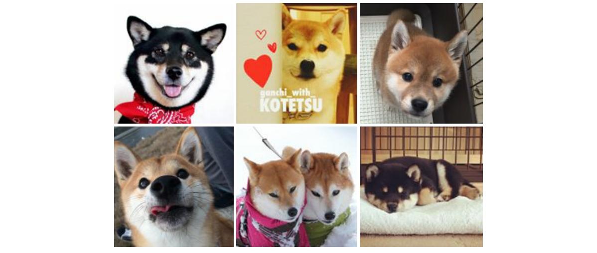 【4/8は柴犬の日♡】いますぐフォローすべき、かわいすぎる7匹の柴犬たちが大集合(^u^)♡