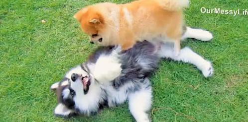 マラミュートとポメラニアン♪ 犬種も違えば年齢も違うけど、仲良しな2匹にほっこり(*´▽`*)