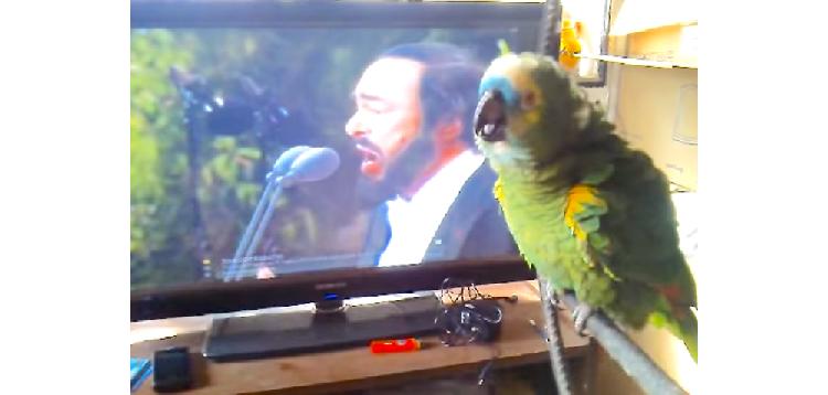 【歌なら任せて♪ 】TVでオペラを観ていたオウムが おもむろに発声練習を始めた結果…Σ(・ω・ノ)ノ