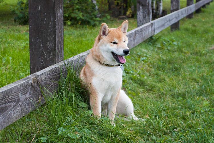 柴犬をケージで飼う ~メリットと選ぶポイント~