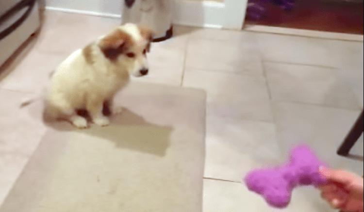 おもちゃのキャッチに挑戦する子犬、期待以上のかわいい結末を迎える...(*´艸`*) 8秒