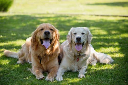 優しい大型犬種ゴールデン・レトリーバーの飼い方、特徴の全て