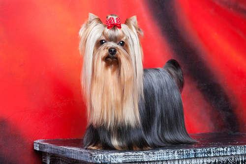 小さな猟犬!ヨークシャー・テリアの飼い方・特徴などの全て