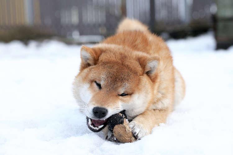 柴犬が大喜びで遊んでくれる! 柴犬が好きなおもちゃ紹介