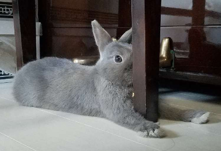 【椅子の脚に顔面ぺったり】ウサギさんの謎のリラックス体勢に、飼い主さんも困惑…(; ・`д・´)4枚