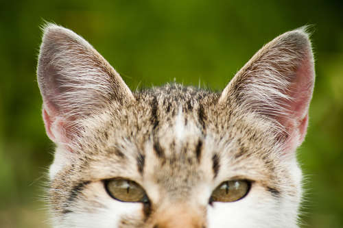 猫の耳の状態から読み取るサイン。 チェックすべきポイントと お手入れ方法について