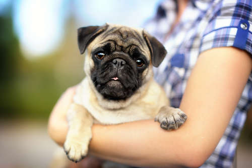 【獣医師監修】犬が抱っこを嫌がる!  抱っこの慣らし方と正しい抱き方