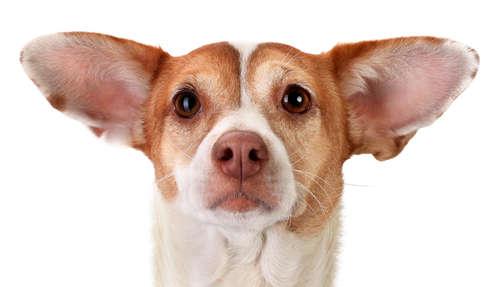【獣医師監修】犬の外耳炎!  考えられる原因や症状、治療法と予防法のすべて