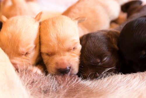 犬の出産について。 準備や産後の注意点とケアについて