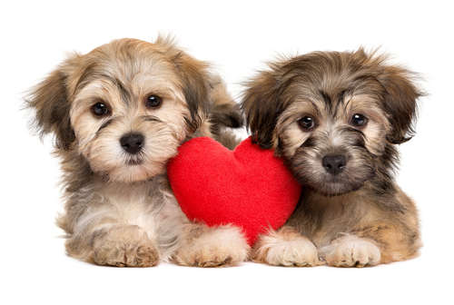 犬の生理(ヒート)の時期や対処法。 発情期との関係やケアグッズについて
