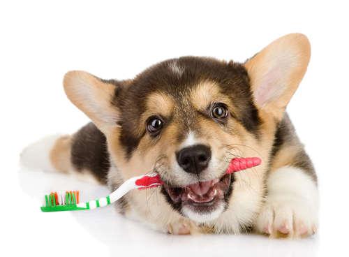 犬の歯磨き、しないとどうなる? 歯磨きの頻度とやり方
